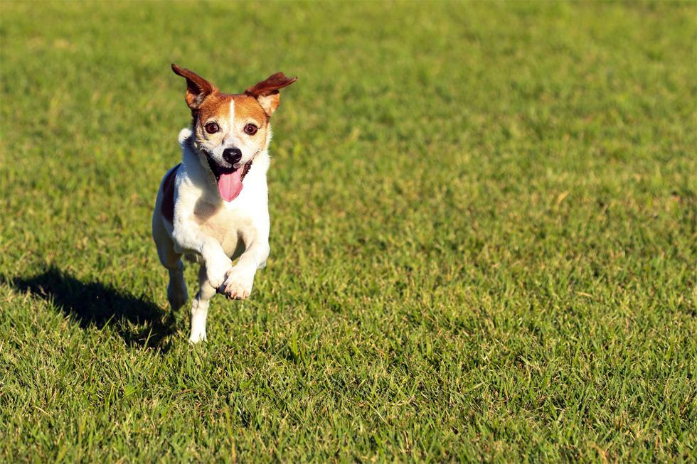 芝生の上を犬が走っている様子