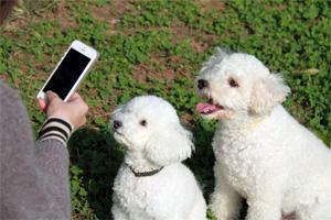 2匹の白い犬をスマホで写真撮影しようとしている様子