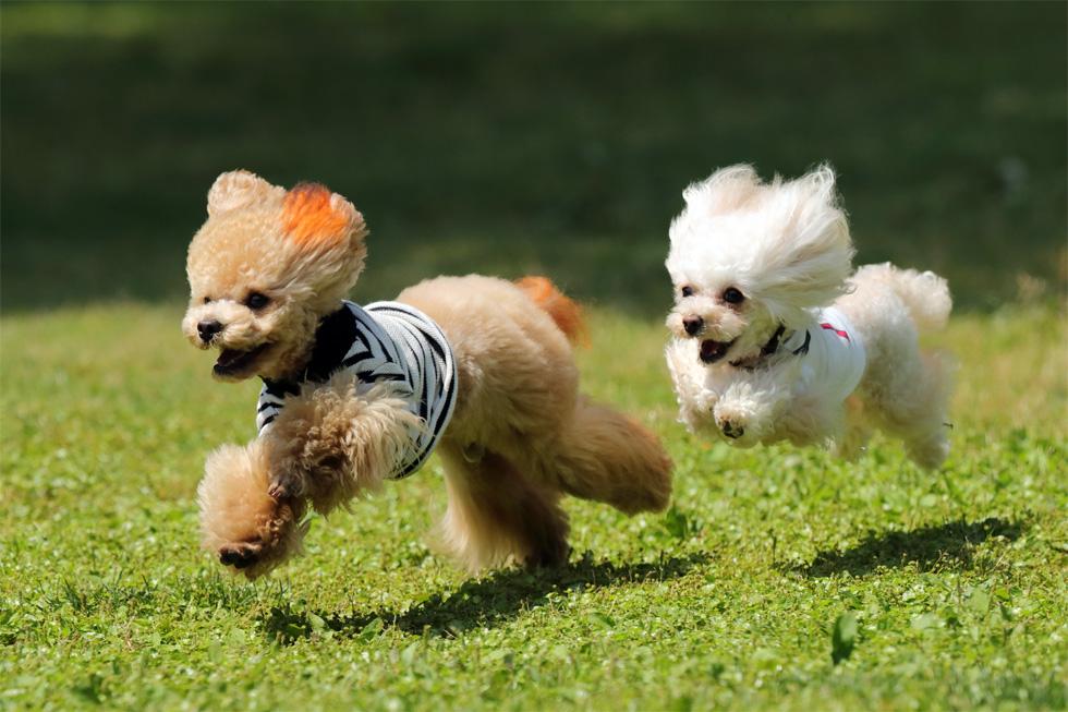 2匹の犬が芝生の上を走っている様子