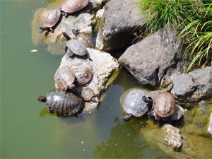 たくさんのカメが池のふちの岩で甲羅干ししている様子