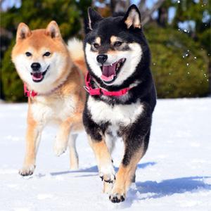 茶色と黒の柴犬が中良さそうに雪の上を走っている様子